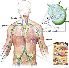 Illustration of lymph system.