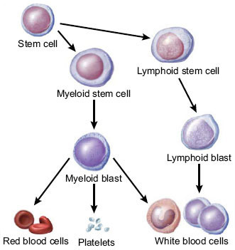 Stem cells maturing into one of three types of mature blood cells: red blood cells, platelets, and white blood cells. Precursor cells are also shown: stem cells, myeloid blasts, lymphoid stem cells, and lymphoid blasts.
