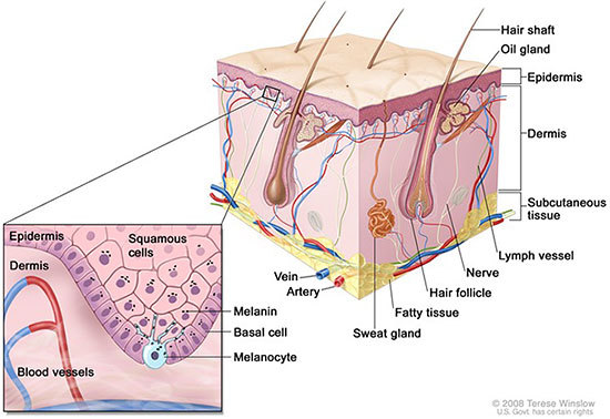 Anatomy of the skin, showing the epidermis, dermis, and subcutaneous tissue. Melanocytes are in the layer of basal cells at the deepest part of the epidermis.