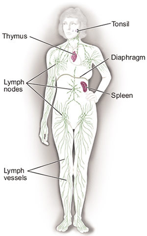 This picture shows lymph nodes above and below the diaphragm. It also shows the lymph vessels, tonsils, thymus, and spleen.