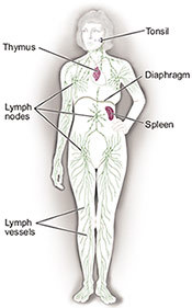 Illustration of lymph nodes.