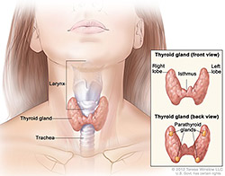 Anatomy of the thyroid and parathyroid glands; illustration shows the thyroid gland at the base of the throat near the trachea. An inset shows the front and back views. The front view shows that the thyroid is shaped like a butterfly, with the right lobe and left lobe connected by a thin piece of tissue called the isthmus. The back view shows the four pea-sized parathyroid glands.
